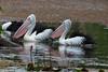 Australian Pelicans (Pelecanus conspicillatus) by Geoff Whalan