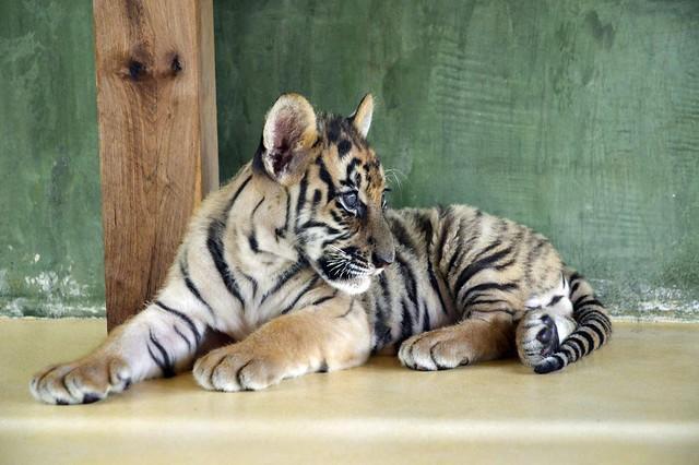 Tiger Kingdom Phuket by Sriprae