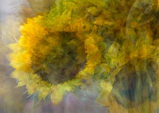 sunflowerdsc2390etal_detail3.jpg | by Stephen D'Agostino