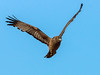 Spotted Harrier (Circus assimilis) by David Cook Wildlife Photography