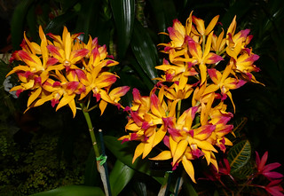 photographed at the 2017 pacific orchid & garden exposition, Cattlianthe (Denis Olivas 'Best' x Golden Treat 'SVO') hybrid orchid | by nolehace