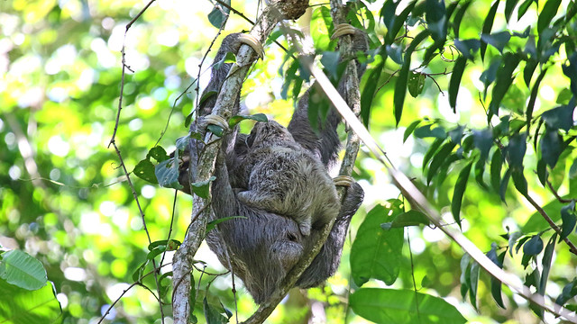 Brown-throated Three toed Sloth, with baby.         Bradypus variegatus