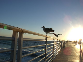 SEA GULL ON HERMOSA BEACH PIER | by roberthuffstutter