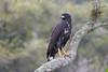 Common Black Hawk (Buteogallus anthracinus) by Hector Cayetano Rosas