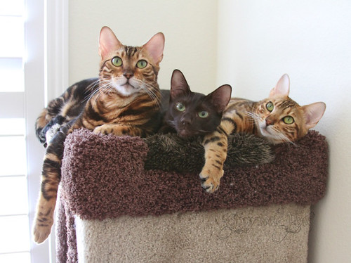 Koa, Peaches, and Ellie on the cat tree | by GourmetPens
