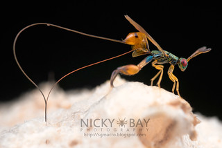 Mantis Parasitic Wasp (Podagrion sp.) - DSC_9361 | by nickybay