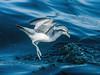 Fairy Prion (Pachyptila turtur) by David Cook Wildlife Photography