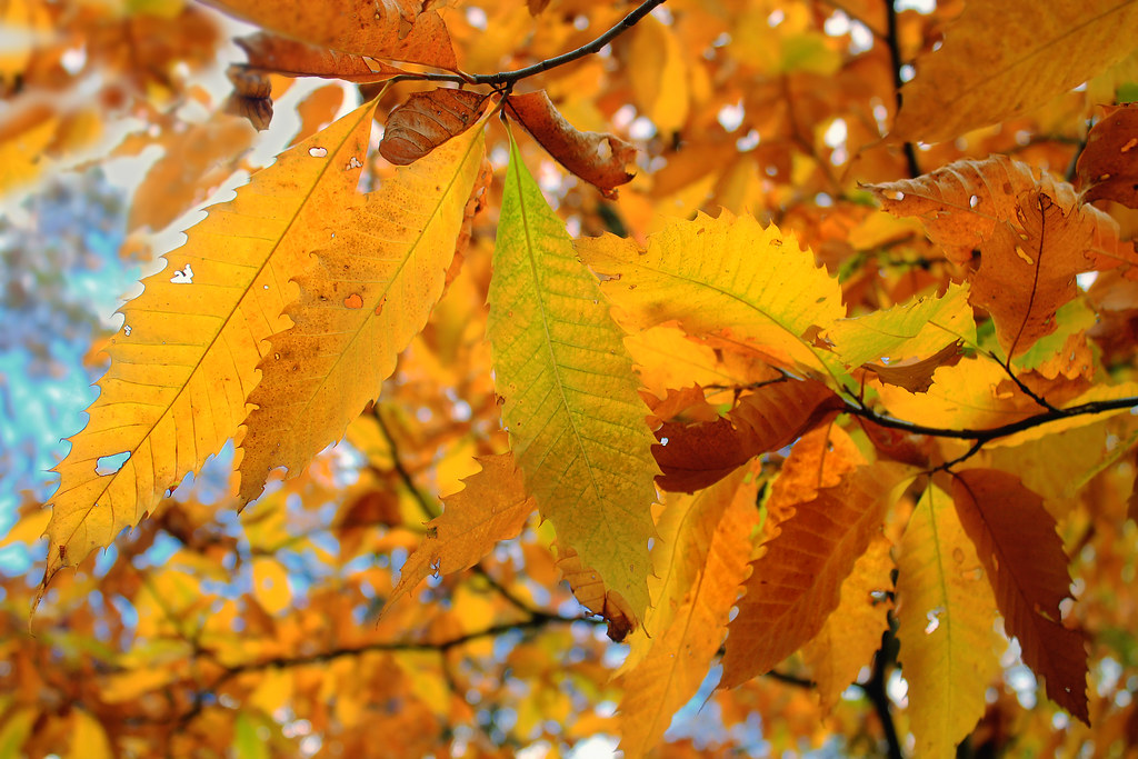 photo of American chestnut leaves in fall