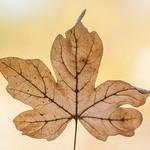 Autumn Leaf  (Been Explored again...  Wow, thanks x)