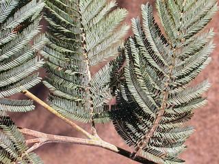 Silver wattle, Acacia dealbata leaf