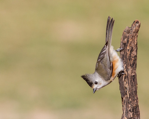 Black-crested Titmouse | by Andy Morffew