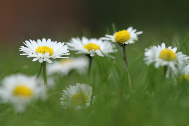 34/100: The daisy's for simplicity and unaffected air - Robert Burns