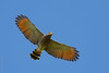 Rupornis magnirostris | Roadside Hawk by danielplow