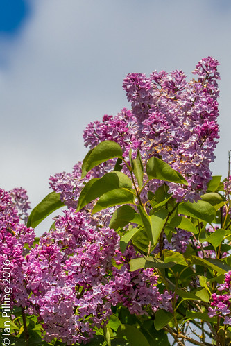 Lilac in Sping Bloom | by The Aquanaught