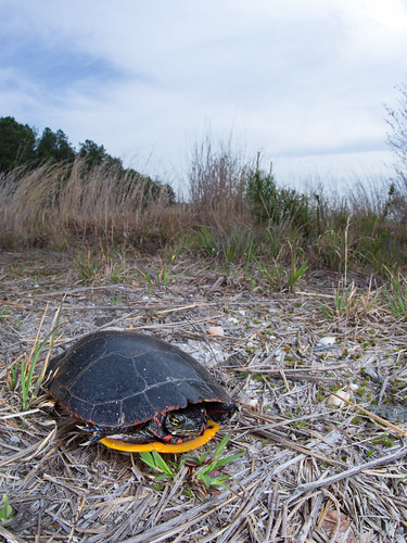 Male painted turtle on the move | by Zachary Cava