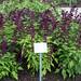 Scarlet Sage (Salvia splendens)