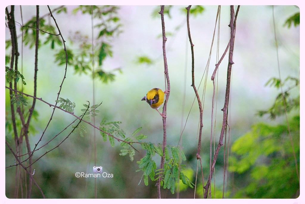 Baya Weaver Bird Ploceus Philippinus Marathi Name Sugara Osxapple Flickr