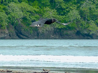 Black Vulture on the beach in Pedasi, Panama | by Matthew Straubmuller