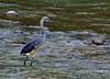 4016 White-bellied Heron, near extinct, 200 remaining. by leehunterphotos