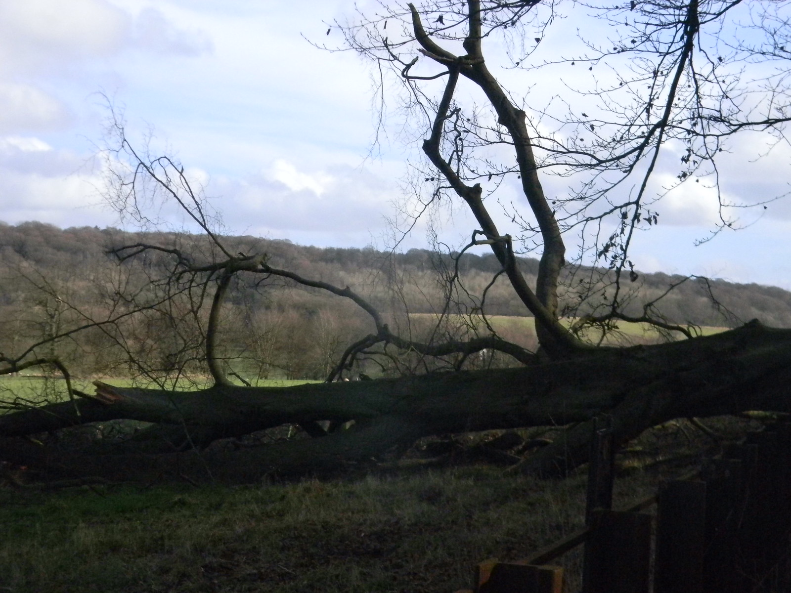 Fallen tree, Chequers We checked to see if Mr C was underneath. Just wishful thinking, though. Princes Risborough to Wendover