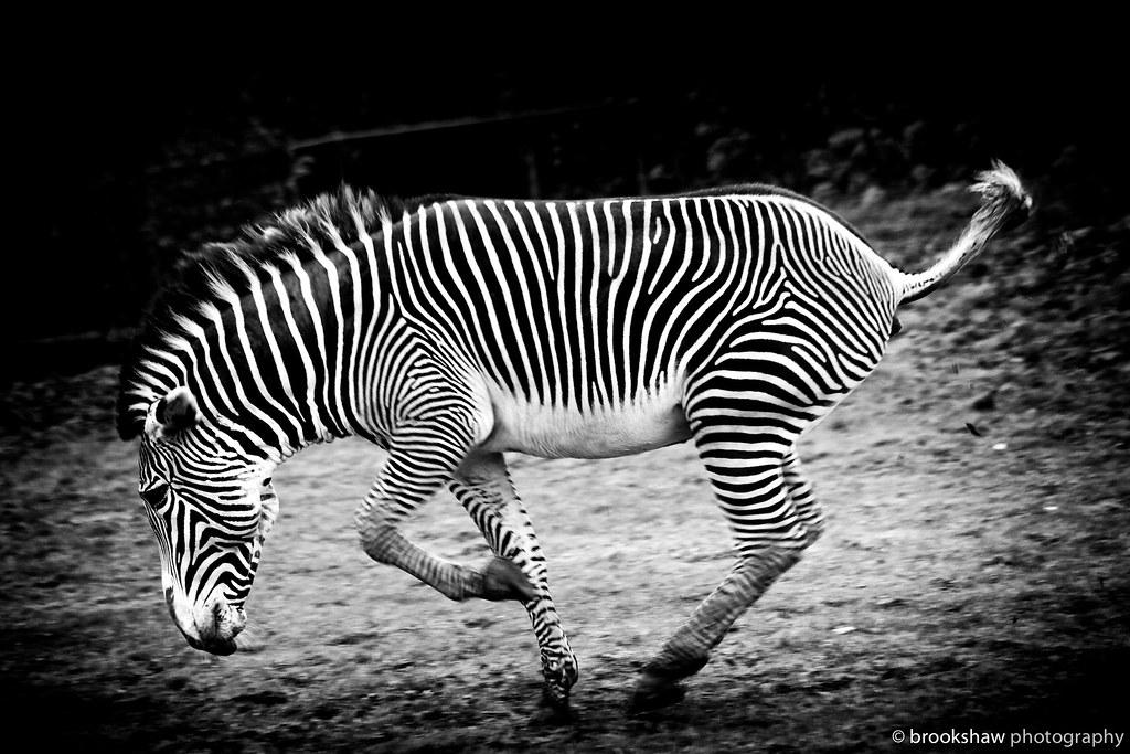 Speeding Zebra