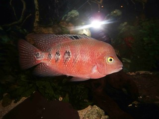 Super Red Monkey | Hybrid cichlid | Matthew Colman-Debarr
