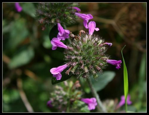 Clinopodium vulgare - calament clinopode 33337918854_29555cd514
