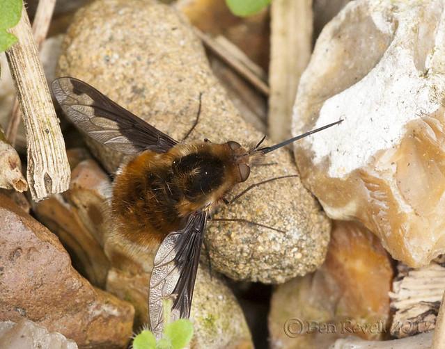 Bombylius major - Bee Fly
