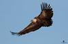 Griffon vulture (Gyps fulvus) - Buitre Leonado (Gyps fulvus) by Juan María Coy