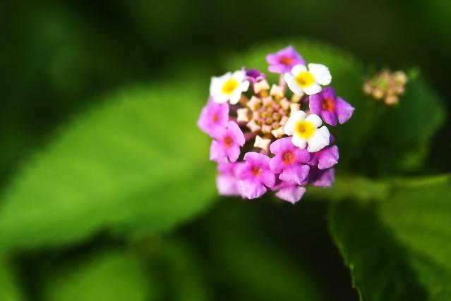 Little Lantana Flowers