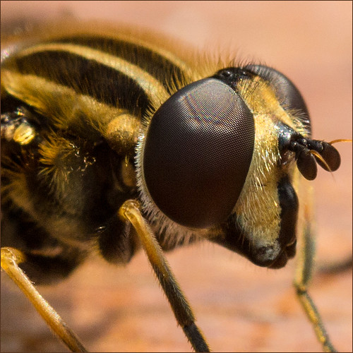 #7 Eye to Eye with a Hoverfly | by Fromo99