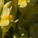 Flickr photo 'Linaria vulgaris MJ2808-D064' by: Sarah Gregg Petriccione.