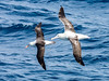 Black-browed Albatross (Thalassarche melanophris) and Southern Royal Albatross (Diomedea epomophora) by David Cook Wildlife Photography