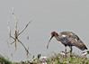 Red-naped Ibis a.k.a  Indian Black Ibis #101 by Ramakrishnan R - my experiments with light