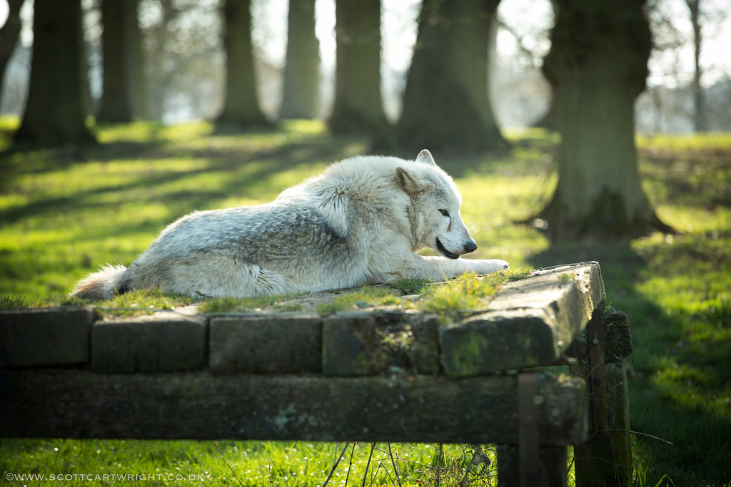 Canadian Timber Wolf