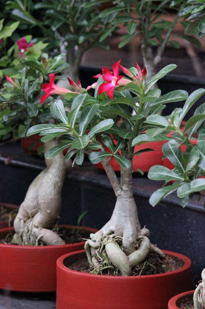 Adenium - With red flower five year old