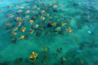 Stingrays in Wallis Lake (1) | by ozzie_traveller