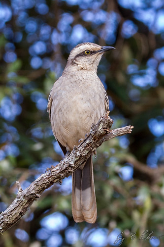 Chalk-browed Mockingbird | by Jay Packer