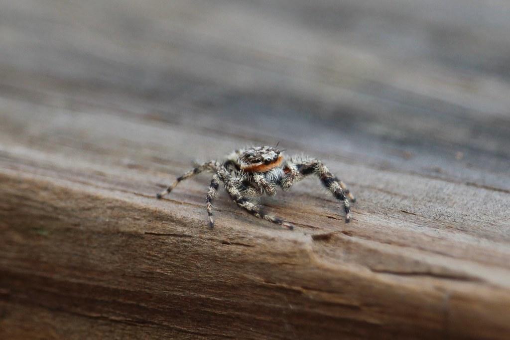 Texas Spider