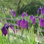 Iris 菖蒲
