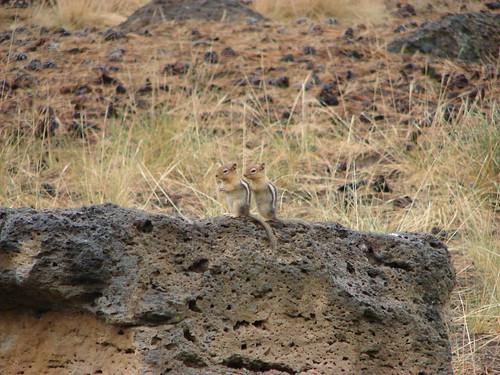 Golden Mantled Squirrels