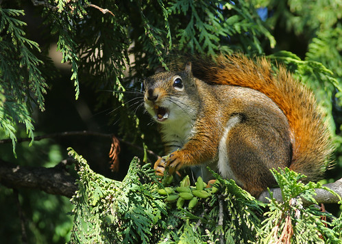 Red Squirrel...#3 | by Guy Lichter Photography - 5.5M views Thank you