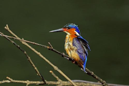 Madagascan Kingfisher, Masoala, Madagascar
