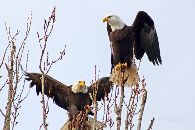 Bald Eagles (Explored) 17-0115-8639