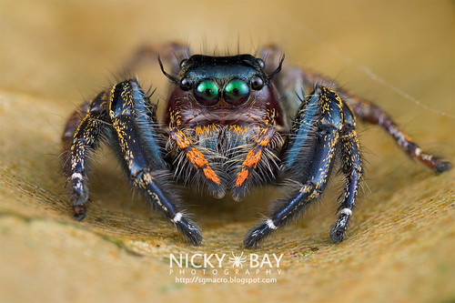 Jumping Spider (Hyllus sp.) - DSC_9090 | by nickybay
