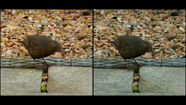 Female blackbird feeding - 3d movie clip - crossview