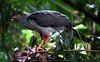 Accipiter bicolor @ my backyard by Daniel Mclaren .:. Naturalist Guide CR