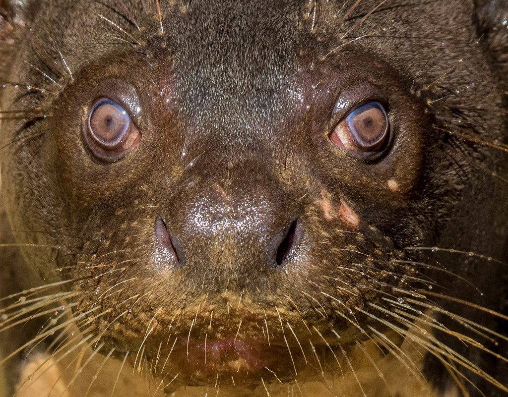 Eyes of a Giant Otter (Pteronura brasiliensis), Pantanal, Brazil