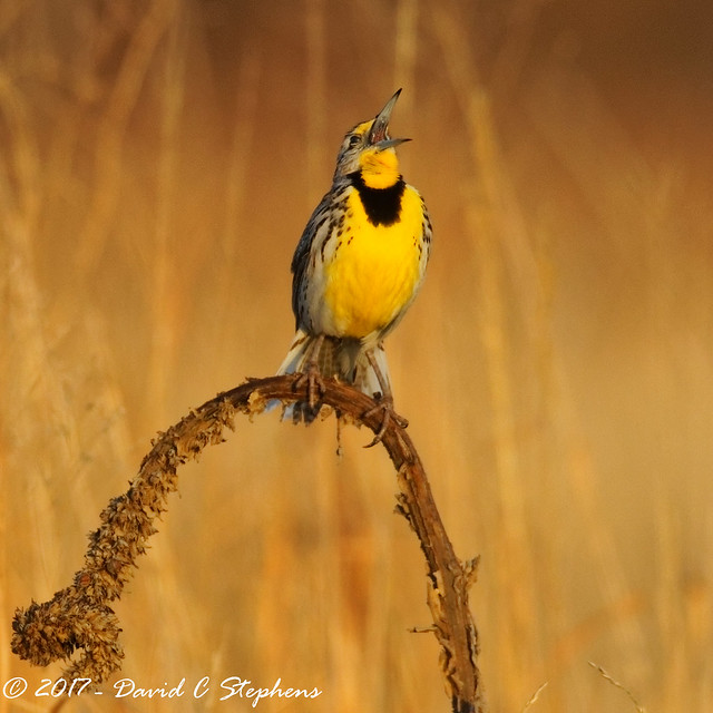 Meadowlark Sings