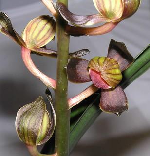 墨蘭荷瓣  Cymbidium sinense Lotus-series  [香港沙田國蘭展 Shatin Orchid Show, Hong Kong] | by 阿橋花譜 KHQ Flower Guide